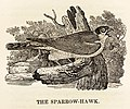 The Sparrowhawk woodcut in Bewick British Birds 1797.jpg