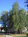 The birches in the hospital. July 2013. - Берёзы в больнице. Июль 2013. - panoramio.jpg
