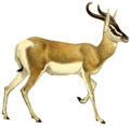 The book of antelopes (1894) Gazella soemmerringi (white background).png
