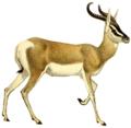 Antilooppien kirja (1894) Gazella soemmerringi (valkoinen tausta) .png
