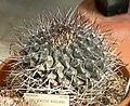 Thelocactus rinconensis 2.jpg