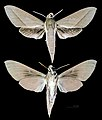 Theretra incarnata MHNT CUT 2010 0 103 Australia male.jpg