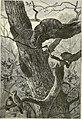 Thiere der Heimath - Deutschlands Säugethiere und Vögel (1882) (14747825884).jpg