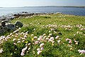 Thrift (Armeria maritima) on the southern tip of the Holm of Heogland - geograph.org.uk - 1378895.jpg
