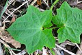 Thunbergia grandiflora หรือ สร้อยอินทนิล Photographed by Peak Hora 05.jpg