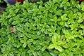 Thymus Lime 0zz.jpg