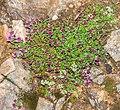 Thymus serpyllum in Aveyron (1).jpg