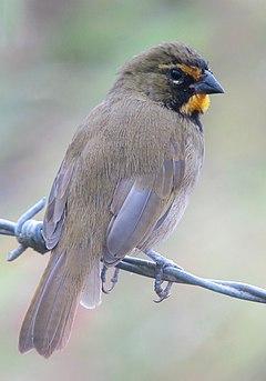 240px tiaris olivaceus semillero cariamarillo yellow faced grassquit (male) (11872973516)