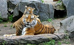 Tiger in Berlin Tierpark