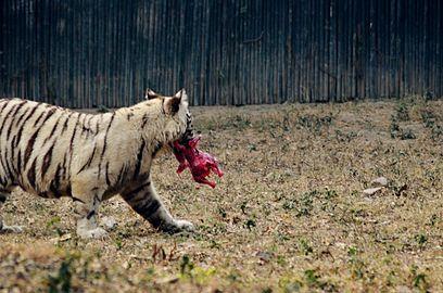 Tiger white chicken.jpg