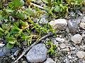Tillaea aquatica sl2.jpg