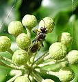 Tiny Ichneumon wasp. Probably Listrodromus nycthemerus. Listrodromini - Flickr - gailhampshire.jpg
