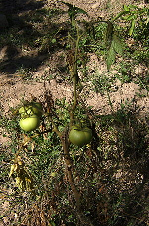 Fusarium oxysporum f.sp. lycopersici - Tomato plant affected by Fusarium oxysporum with brown stem and wilted leaves