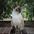 Tonkinese Cat - Leo.jpg