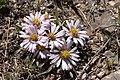 Townsendia exscapa - Flickr - aspidoscelis.jpg