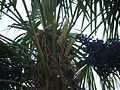 Trachycarpus fortunei, pied femelle, début de floraison et fruits de l'année précédente.JPG