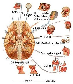 Training.seer.cancer.gov - illu cranial nerves1.jpg