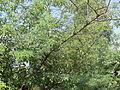 Tree, chaste tree.jpg