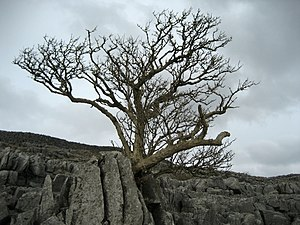 English: Tree above Kingsdale Stubborn growth ...