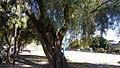 Tree in Santa Fe.jpg