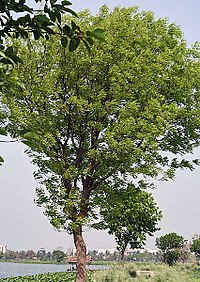 Cultivated tree