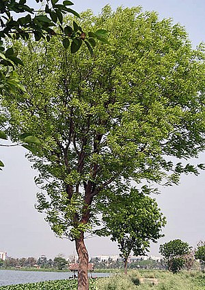 Swietenia mahagoni - Cultivated tree, India