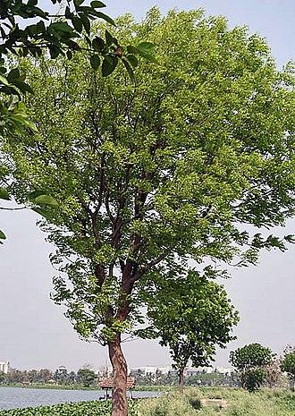 Swietenia mahagoni - Cultivated tree, India