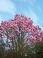 Trewidden Magnolia - geograph.org.uk - 81974.jpg