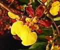 Trichocentrum teres x splendidum -香港沙田洋蘭展 Shatin Orchid Show, Hong Kong- (30662253164).jpg