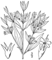 Trichostema brachiatum BB-1913.png