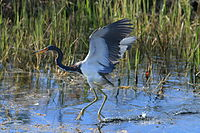 Tricoloured heron in Loxahatchee.jpg
