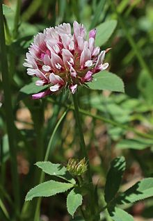 Trifolium longipes v nevadense close.jpg