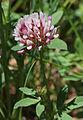 Trifolium longipes v nevadense close.jpg