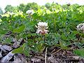 Trifolium repens flowers.jpg