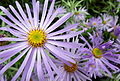 Trio of daisies (7992646897).jpg