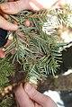 True Fir Needle Cast, Lirula abietis-concoloris.jpg