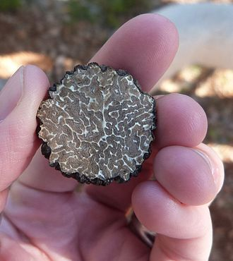 Tuber melanosporum - Black truffle, cut