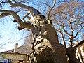 Tsagarada Plane Tree.jpg