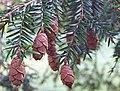 Tsuga canadensis with cones.jpg