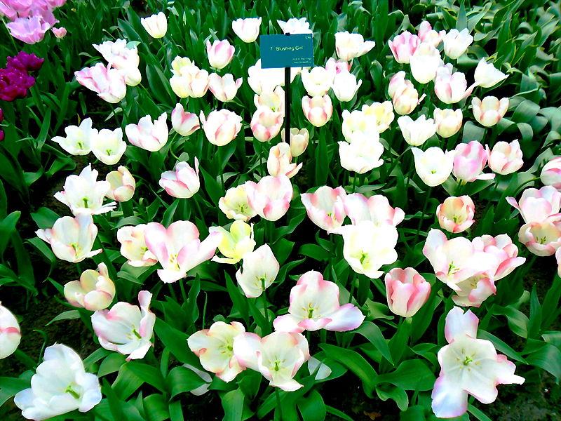 Tập tin:Tulip Hà Lan 6.jpg