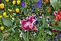 Tulipes en fleur au Jardin Massey de Tarbes 06.jpg