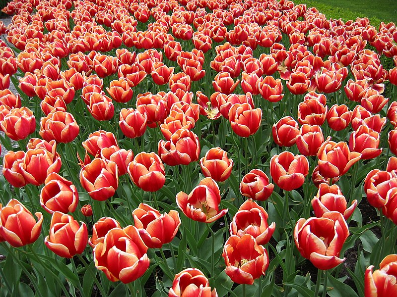File:Tulips in Keukenhof 2.jpg