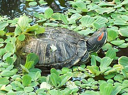 Turtles in Atocha garden (Madrid) 01.jpg