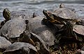 Turtles in Senkeien garden, Yokohama, Japan (2504696162).jpg