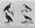 Two eagles, an osprey and a buzzard. Etching by A. Easto aft Wellcome V0022350.jpg