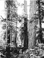 Two men on dirt road in forested area with old growth timber, probably Washington state, ca 1905 (BAR 250).jpeg