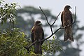 Two soggy Black Kites perched near Miho, Japan (5220431064).jpg