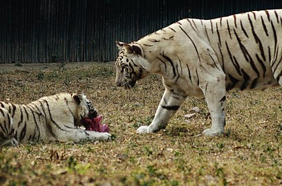 Two white Tigers.jpg