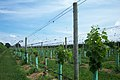 US-NY - Cutchogue - Vineyard (4887741214).jpg