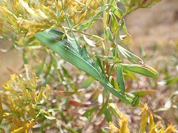US Utah Green Praying Mantis in Antelope Island.jpg